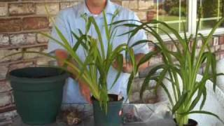 Reblooming  Daylilies  GreatGarden Plants