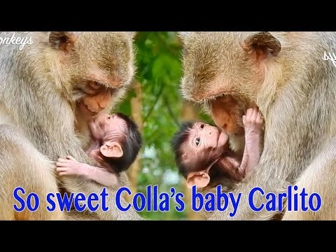 So Sweet Hybrid Baby Carlito 5 Days Old Try To Talk To Mama Colla & Colla Try To Laugh To Carlito from YouTube · Duration:  10 minutes 7 seconds