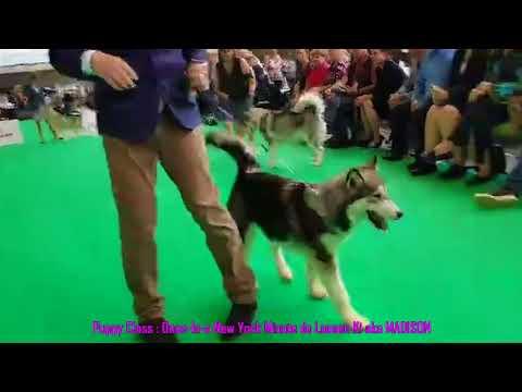 World Dog Show Amsterdam 2018 - Laouen Ki Team