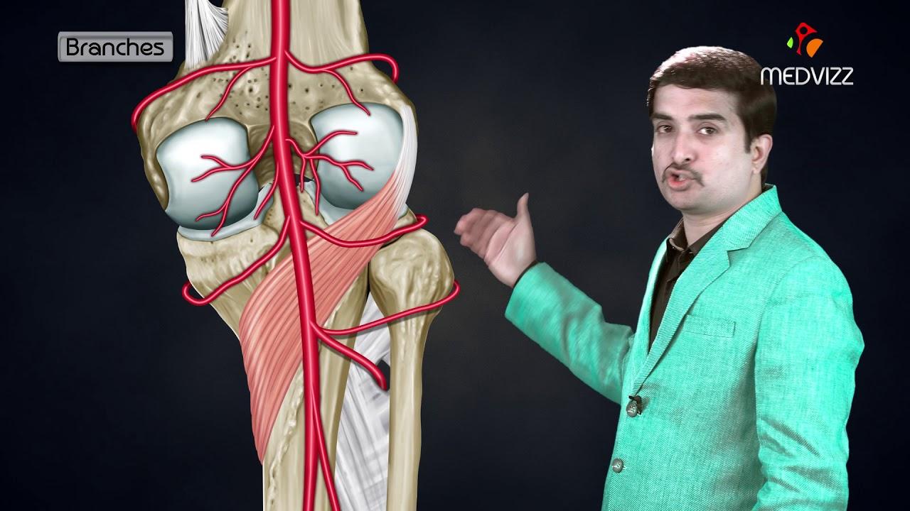 Posterior Tibial Artery Arteries Of Lower Limb Medvizz Anatomy
