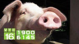 Giá lợn miền Bắc bất ngờ giảm sốc ở nhiều nơi | VTC16