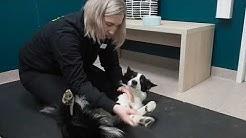 Mitä koiran fysioterapiassa tehdään?