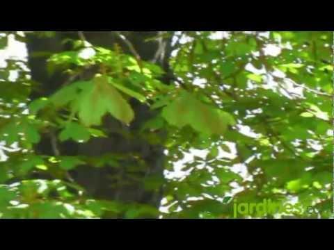 Castaño de Indias - Aesculus Hippocastanum - www.GuiaJardines.com