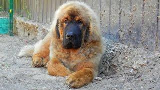 Tibetan Mastiff Puppies For Sale. Goodwin.
