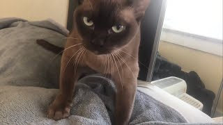 Burmese cat Matilda howls while making biscuits