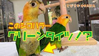 【えとぴりかOSAKA】なかなかお目にかかれない足が緑のシロハラインコ!【シロハラインコ・White-bellied Parrot】