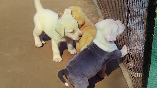 Labrador Puppy For Sale 12000 Only