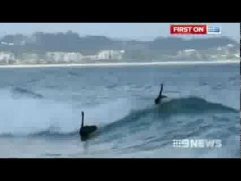 Black swans surfing at Kirra Beach on the Gold...