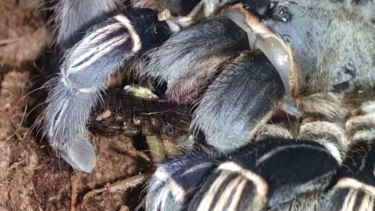 Aphonopelma Seemanni Female Eating