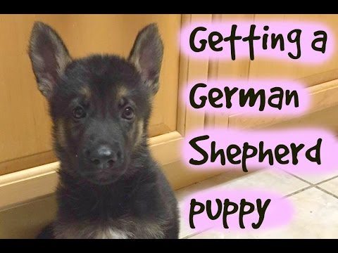 Getting a German Shepherd puppy