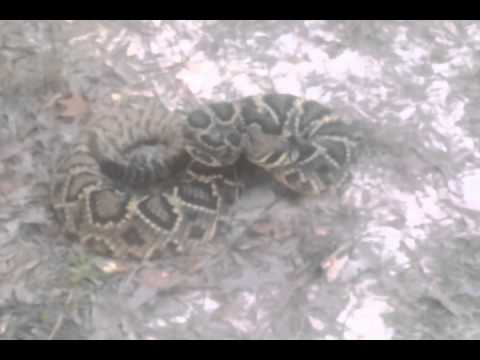 Large Eastern Diamondback Rattlesnake. 8 Pounds