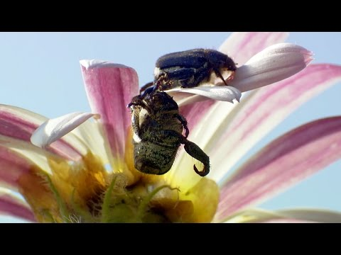 Beetles Brawl For Female Attention - Africa - BBC