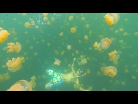 INCREDIBLE !! Underwater Video Jellyfish Lake In The Republic Of Palau !!
