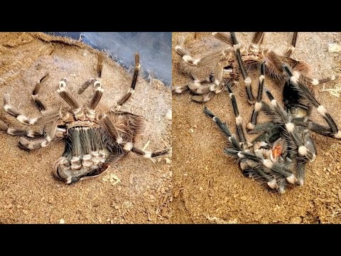 Chilling Time Lapse Shows Huge Tarantula Moulting