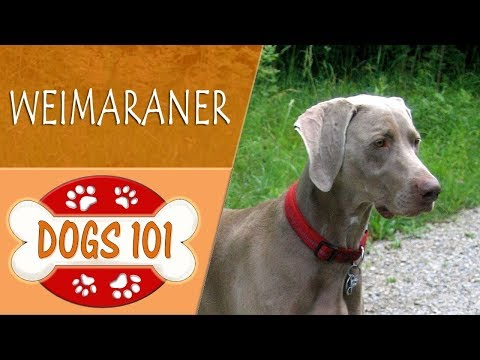 Dogs 101 - WEIMARANER - Top Dog Facts About the WEIMARANER