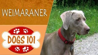 Dogs 101  WEIMARANER  Top Dog Facts About the WEIMARANER