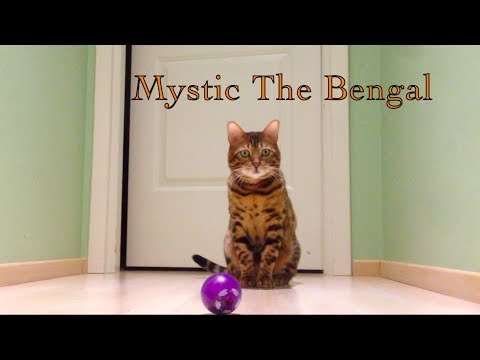 Bengal cat testing interactive feeder ball