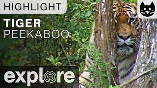 Peekaboo Tiger at Big Cat Rescue - Live Cam Highlight