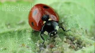 Coccinelle insecte auxiliaire dévorant une colonie de pucerons 120805M009.mp4