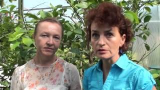 Уход за Каламондином в домашних условиях, обрезка, размножение (фото и видео инструкция)