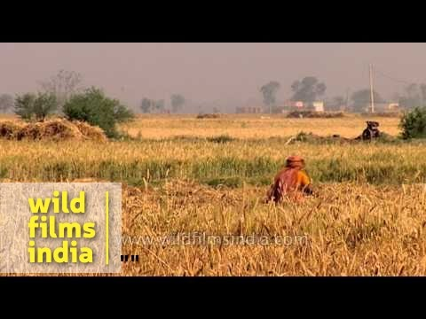 Harvesting of wheat crop in India