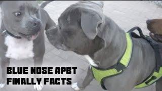 Blue Nose APBT - Finally Facts