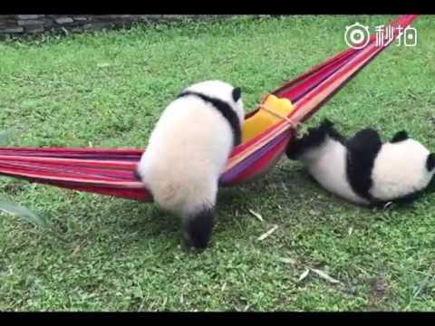 Adorable Baby Pandas playing in their yard