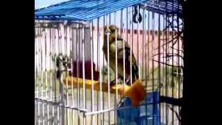 طائر الحسون المايسترو سبحان الله