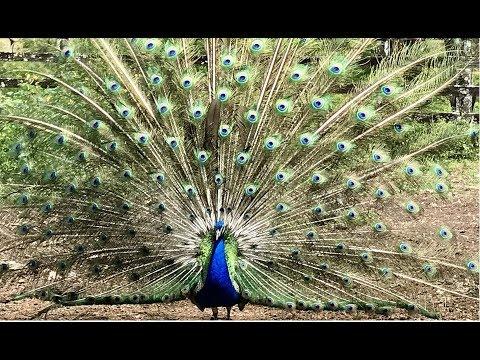 Pavão abrindo o Leque (câmera Lenta) Pavão indiano, Peacock, Peafawl
