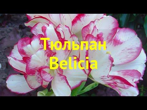 Тюльпан фостера Белиция. Краткий обзор, описание характеристик, где купить луковицы tulipa Belicia