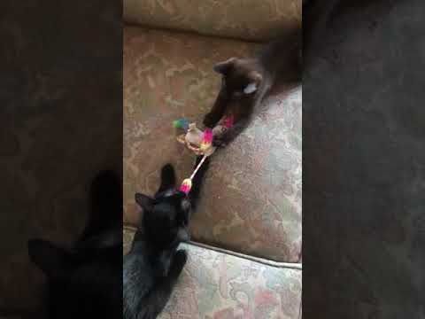 Kittens playing tug of war