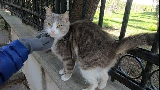 Grey and white cat trilling and meowing so cute