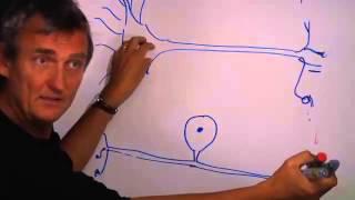Nervsystemet del 2 ( nervceller banor nerver)