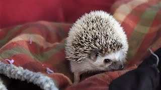 Nelly The Hedgehog