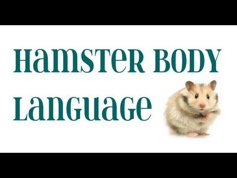 Hamster body language