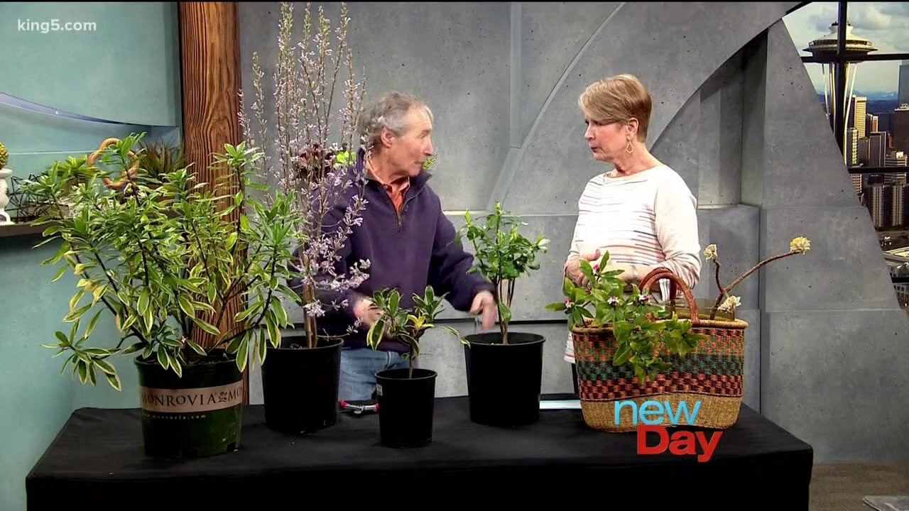 Caring For The Super Fragrant Daphne Odora Plant New Day Northwest