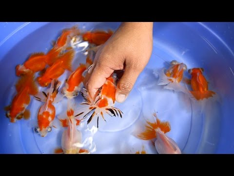 Butterfly Goldfish For Ponds & Aquariums - 2/2