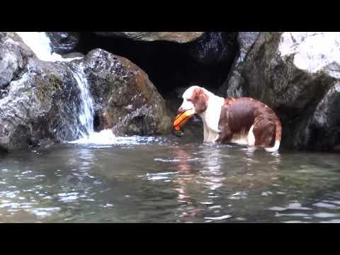 Elfin - welsh springer spaniel water retrieving
