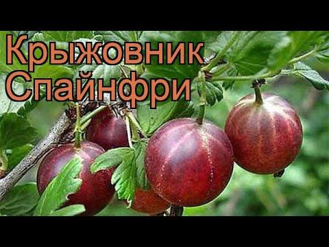 Крыжовник обыкновенная Спайнфри (ribes grossularia) 🌿 обзор: как сажать, саженцы крыжовника Спайнфри