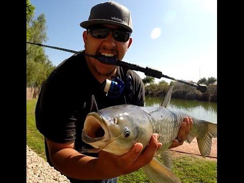 Arizona grass carp white amur fishing youtube for White amur fish