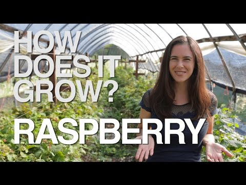 RASPBERRY | How Does it Grow?