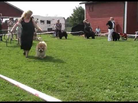 Finnish Speciality chow-chow show 2011 02.07.2011.flv