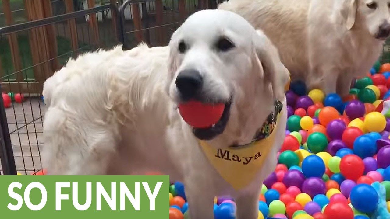 Golden Retrievers Get Surprise Ball Pit Birthday Party Youtube