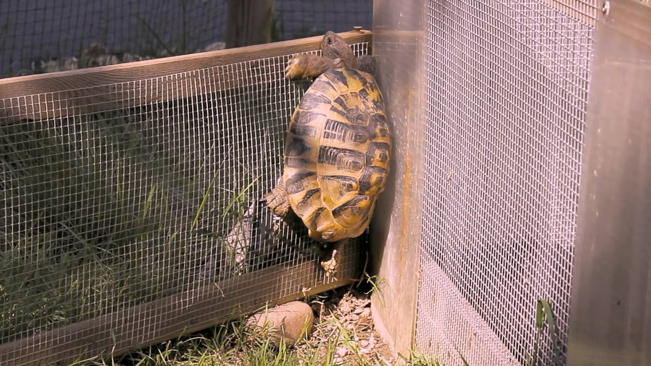 Crazy Tortoise Climbs Fence Youtube