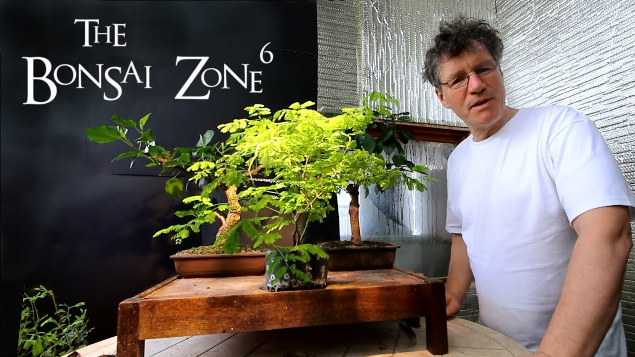 Brazilian Rain Tree Bonsai Part 2 First Styling And Re Potting Mar 2019 Youtube