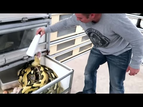 PISSED OFF HUGE SNAKE LAYS EGGS! SCARY EGG REMOVAL : Brian Barczyk