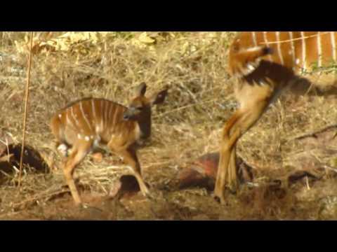 MVI 2597   Nyala familie Kruger NP