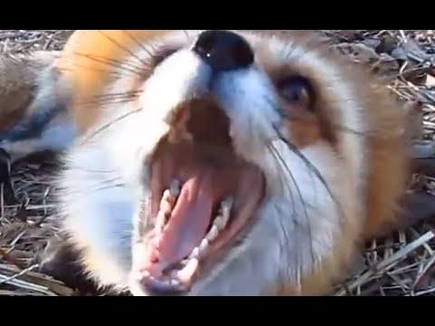 PERFECTLY CUT ANIMAL SCREAMS