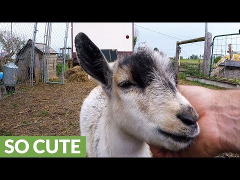 Baby goat is in heaven with face massage