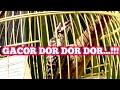 Pelatuk Beras Gacor Pelatuk Sampit Gacor  Mp3 - Mp4 Download